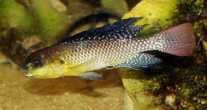 Alcolapia alcalicus