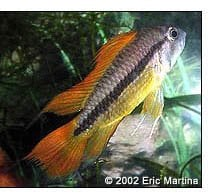 Apistogramma cacatuoides ''Orange Flash'' male