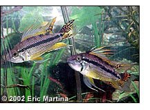 Apistogramma cacatuoides ''Orange Flash'' males