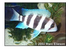 Cyphotilapia frontosa ''Burundi'' with spotty stripes