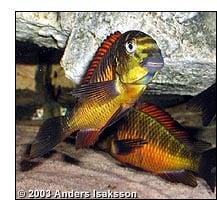 Micro predators these fish eat small invertebrates such as artemia