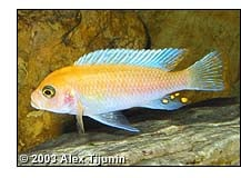 How do you tell the sex of a cichlid