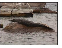 Crocodiles line the shores at some loactions of Lake Tanganyika
