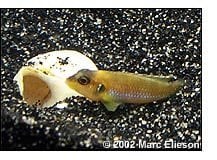 female Lamprologus ocellatus ''Gold''