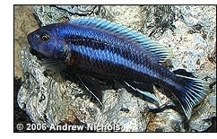 Melanochromis chipokae male