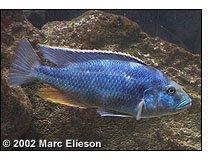 Nimbochromis livingstonii male in breeding dress