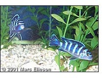 Demasoni pair