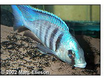 Placidochromis electra male