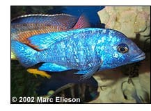 Placidochromis phenochilus male