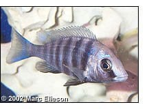 Placidochromis phenochilus female