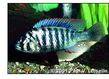 Neochromis migricans