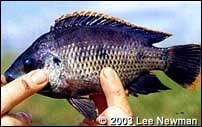 Oreochromis variabilis is one of the endemic tilapias of the Lake Victoria basin.