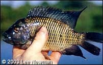 A voracious herbivore. Tilapia zilli poses a threat to the cichlid community of Lake Nawampasa.