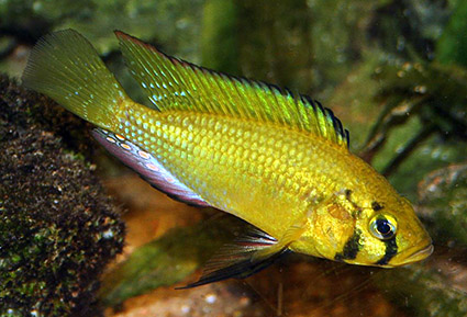 Astatoreochromis alluaudi