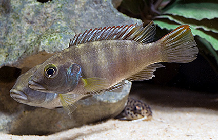 Benitochromis batesii