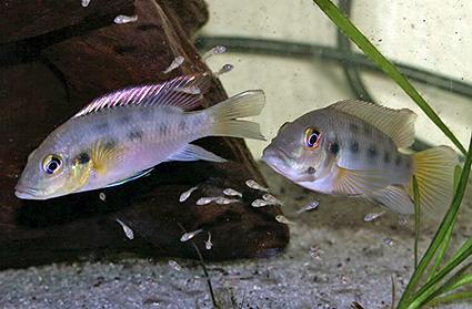 Chromidotilapia guntheri