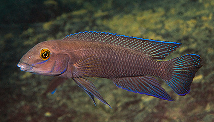 Chalinochromis cyanophleps