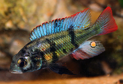 Paralabidochromis chromogynos