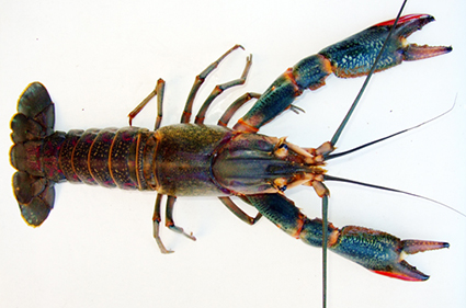 invasive crayfish