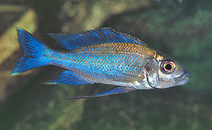 Cunningtonia longiventralis