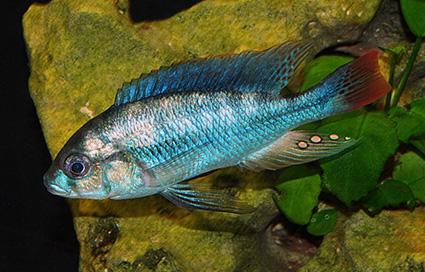 Haplochromis cyaneus