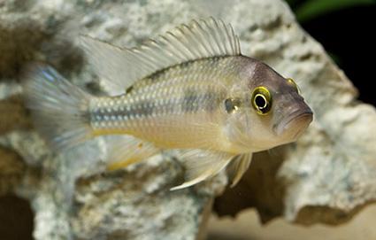 Thoracochromis demeusii