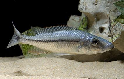 Dimidiochromis dimidiatus