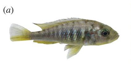 hybrid cichlid