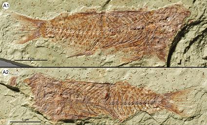 cichlid fossils