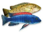 Labeotropheus trewavasae Malawi Mbuna