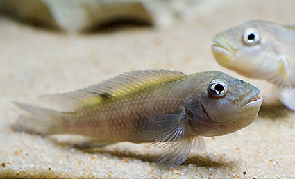 Steatocranus gibbiceps