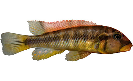 Haplochromis vanheusdeni