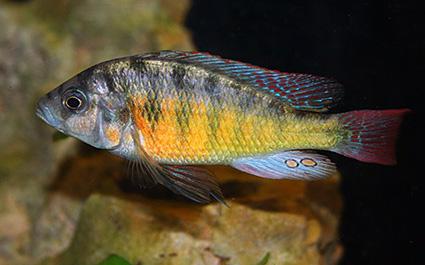 Haplochromis lividus