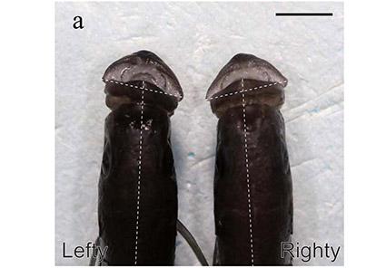 Perissodus microlepis