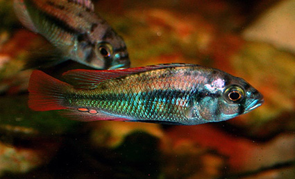"Maturing Haplochromis sp. ""Kisuule"". Photo by Greg Steeves"