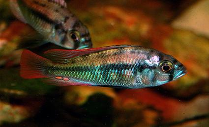 """Maturing Haplochromis sp. """"Kisuule"""". Photo by Greg Steeves"""