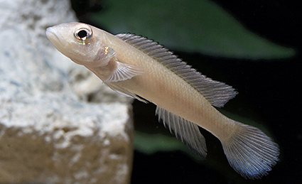 Lamprologus congoensis