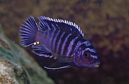 Labidochromis sp
