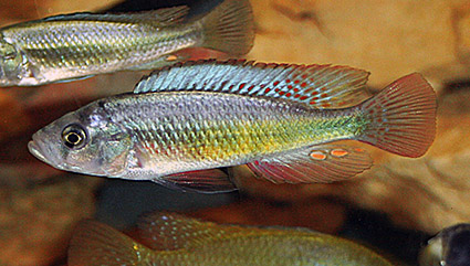 Lipochromis sp