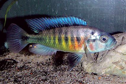 Lipochromis melanopterus