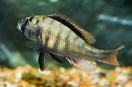 Neochromis sp