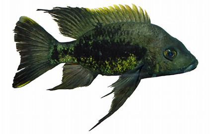 Ptychochromis mainty