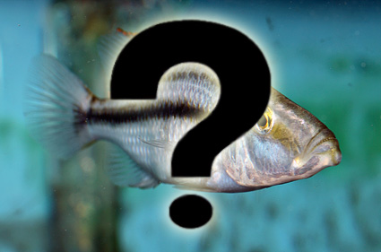 cichlid guessing game