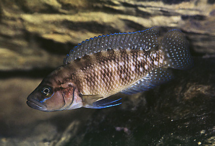 Neolamprologus obscurus