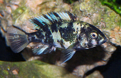 Neochromis omnicaeruleus