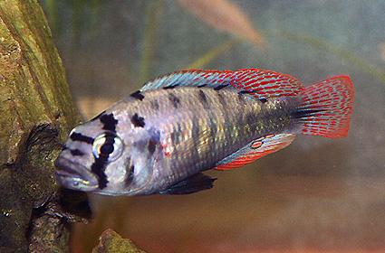 neochromis