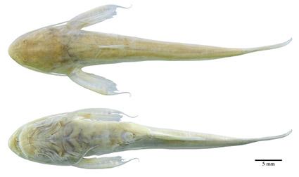 Xyliphius sofiae