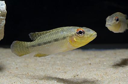 Parananochromis longirostris