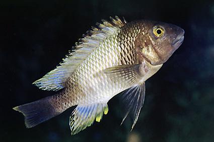 Petrochromis famula