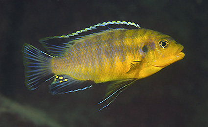 Petrotilapia sp